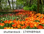 Orange Tulip Flowers Garden...