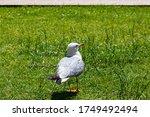 Seagull  Sea Birds Standing On...