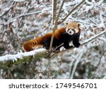 Red Panda On A Tree In The...