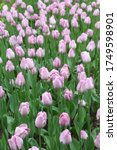 Many Pink Tulips In Park....