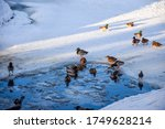 Ducks Swim In Ice Hole. Ducks...