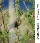A Female Rose Breasted Grosbea...