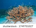 Staghorn Coral  Acropora...