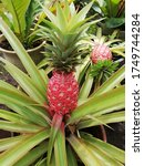 Rare Red Pineapple In The Garden