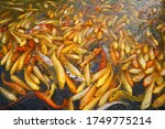 Golden Carp Rushing To The...