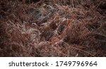 Golden Brown Dry Bracken In Th...