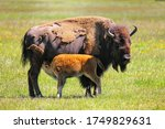 Female Bison With A Calf...