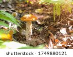 Close up view of young orange birch bolete (Leccinum versipelle) mushroom growing in autumn forest among fallen leaves. Selective focus. Beauty in nature theme. - stock photo