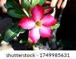 Fuchsia Pink  Kalachuchi Flower ...