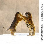 Small photo of Slapstick tiger in winter forest