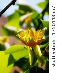 Small photo of Golden flower blossom and green leaves of Liriodendron tulipifera beautiful ornamental tree, American tulip tree, tulipwood, whitewood, fiddletree, yellow-poplar in backlight, copy space
