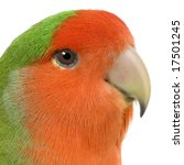 Small photo of Peach-faced Lovebirdin - Agapornis roseicollis or Lilian's Lovebird - Agapornis lilianae front of a white background