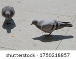 Feral Pigeons  Also Called City ...