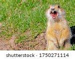 Gopher Screams In The Meadow ...
