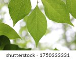 Green Storax Leaves Against The ...