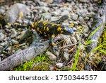 Fire Salamander   Salamandra...