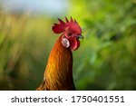 Close Up Photo Of Roosters In...
