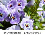 Garden Pansy With Purple And...