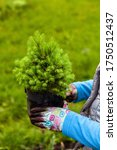 Canadian Hemlock Seedling In...