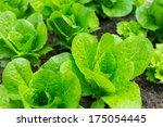 green lettuce field   Shutterstock . vector #175054445