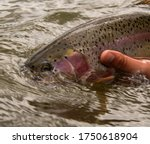 releasing a wild Rainbow trout back into a river.