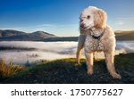 Hiking Miniature Poodle Dog standing on Cat bells fell with dramatic cloud inversion over Derwentwater. Beautiful and rare landscape view in the lake district near Keswick. Space for copy