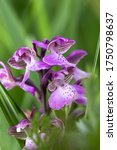 The little orchid is a perennial herbaceous plant that reaches stature heights of 8 to 50 centimeters.