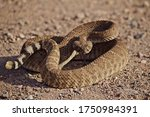 Coiled Rattlesnake Closeup On...