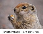 An Arctic Ground Squirrel...
