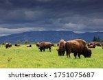Herd Of American Bison  Bison...