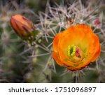 Orange Blossom And Bud On...