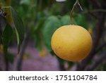 A Closeup On A Grapefruit In...