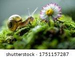 Burgundy Snail Helix Escargot...