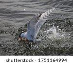 California Least Tern Dives In...