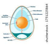 Egg Structure Vector...