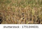 Dried Corn Field In Summer...