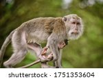 A Mother Monkey Holding Her...