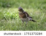 Starling Bird Stands In The...