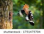 Eurasian Hoopoe Breeding In...