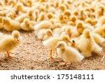 Poultry Farm. Ducklings