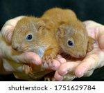 Red Squirrel. Sciurus Vulgaris...