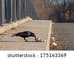 "Close to a flesh crow ""Corvus corone"" feeding some fresh eggs - stock photo"