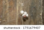 Spider    Close Up Of Eggs...