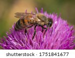 Honey Bee Collects Nectar On A...