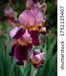 Purple Pink Iris Flower Close...
