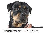 rottweiler dog on white... | Shutterstock . vector #175215674
