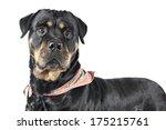 rottweiler dog on white... | Shutterstock . vector #175215761