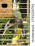 Wavy Parrots In A Birdcage. Tw...