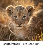 One Small Lion Cub Backlit...