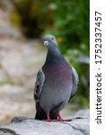 Gray Purple Dove On A Blurry...